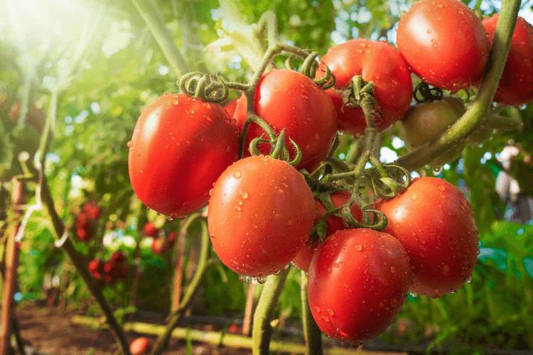 tomate-culture